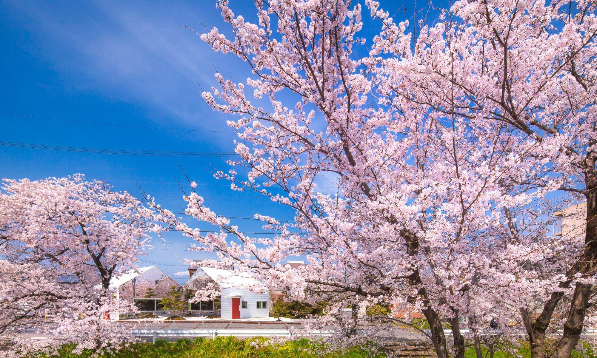 Mirrors Cherry blossom